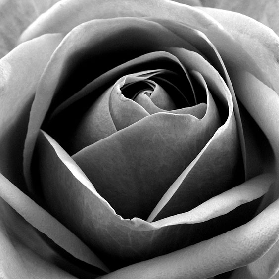 Black-and-White Rose Photograph