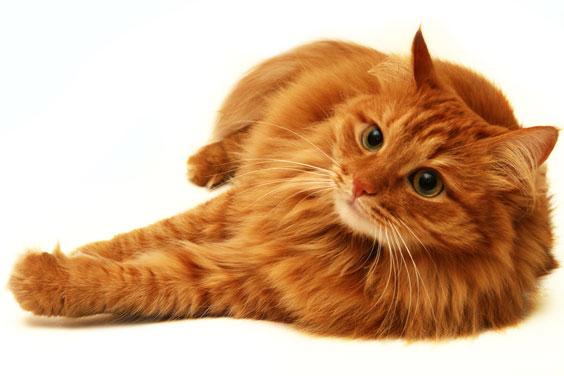 Reclining Orange Cat