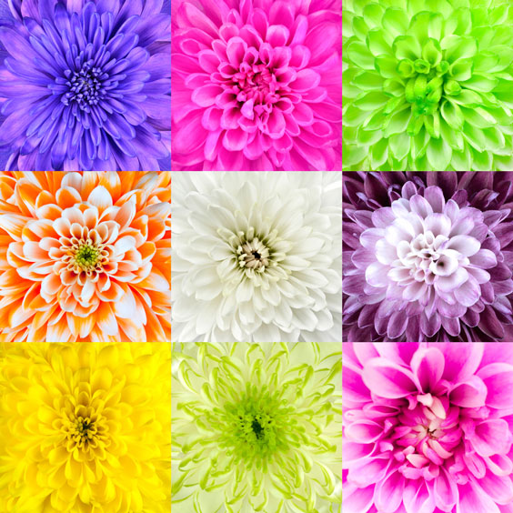 Diversified Chrysanthemum Flowers