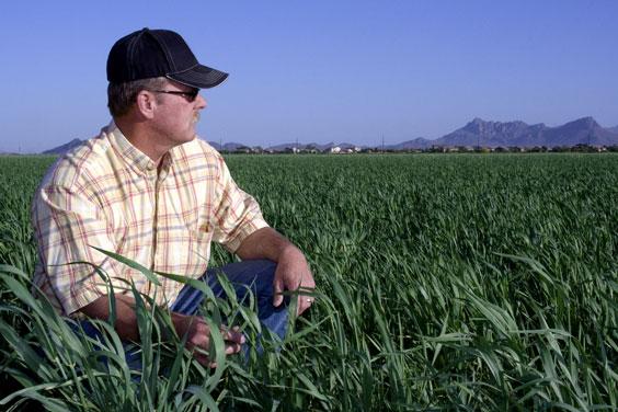 Farmer Looking Across a Wheat Field