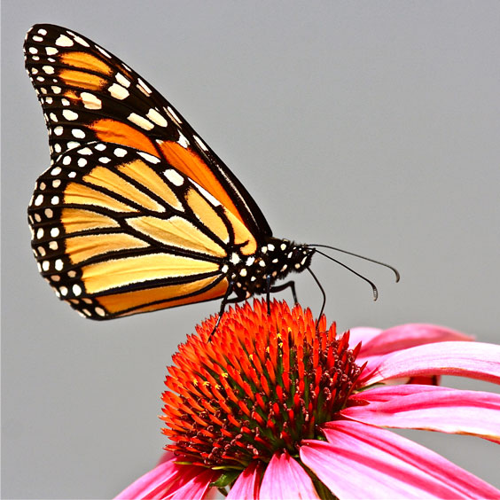 Fascinating Monarch Butterfly on a Coneflower
