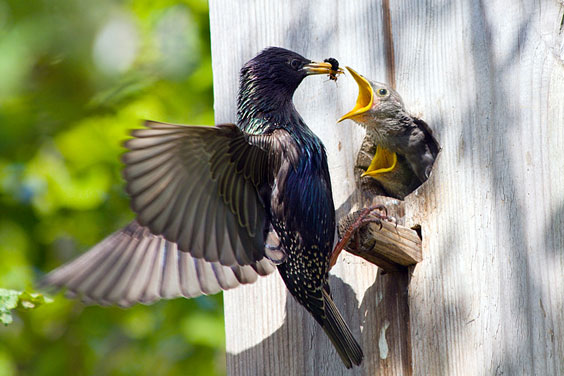 Adult Bird Feeding Baby Birds