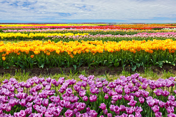 Horizontal Rows of Colorful Tulips