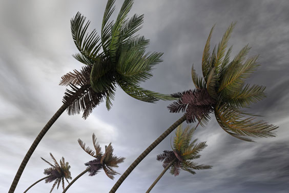 Palm Trees in a Tropical Hurricane