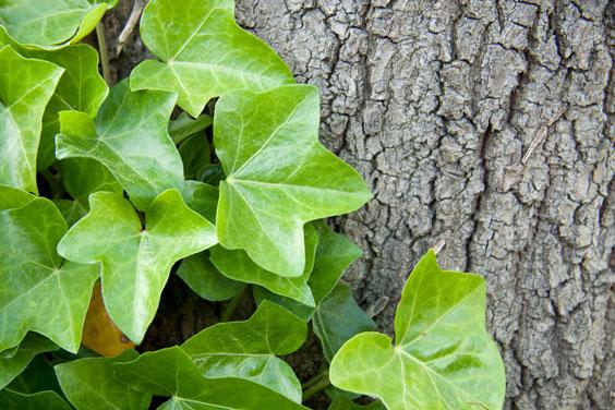 English Ivy Climbing a Tree Trunk