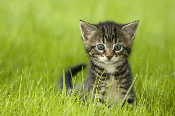 Tabby Kitten on a Green Lawn
