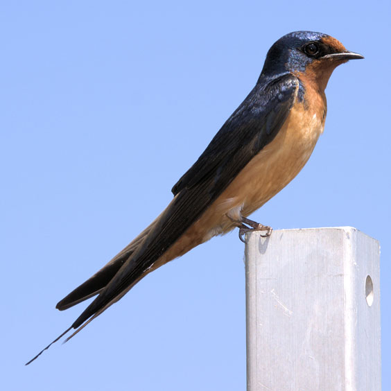 Purple Martin Perched on a White Fence Post