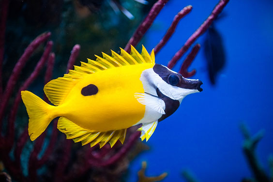 Colorful Rabbitfish in a Saltwater Aquarium