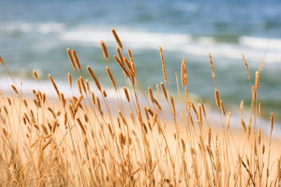Seaside Grasses