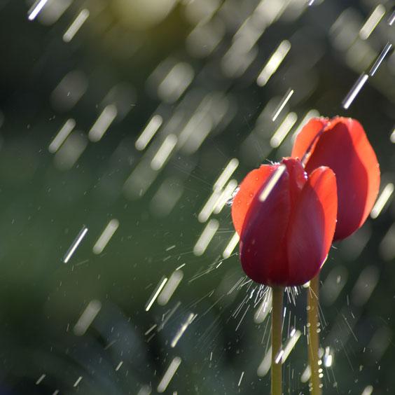 Tulips in a Rain Shower