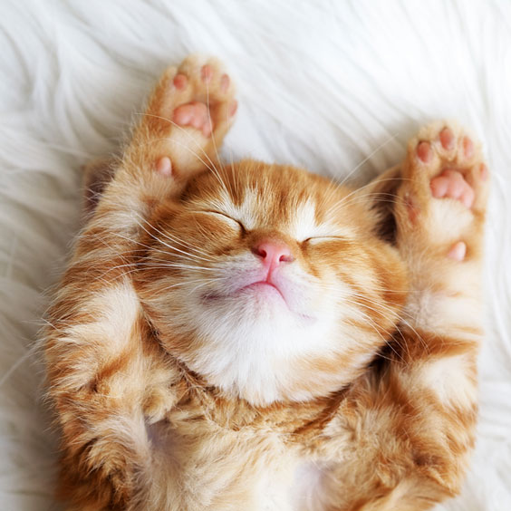 Red Sleeping Kitten